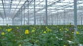 sector : A zooming in view on yellow rose buds still unopened in industrial greenhouse.