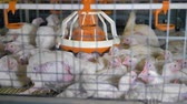 feeder : Many broilers sit closely inside a packed cage. Stock Footage