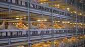 kilitli : Three levels of poultry farm battery cages with broilers.
