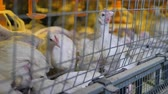 conservar : A close downwards shot on of poultry factory cages with broilers.