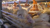 group of animal : A crowded cage with broilers sitting or feeding from the plastic pan.