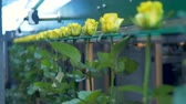 vertical : A factory sorting machine holds yellow by their buds. Stock Footage
