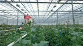 sector : Just opened rose buds stick out from the greenhouse bushes on their long stems. 4K.