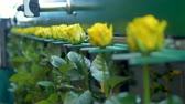 grader : A flower grader with yellow roses in the focus.