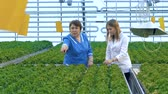 салат латук : Eco food concept. Two female scientists examining crop in a greenhouse.