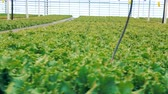 prostorný : Close up of many rows of green lettuce rearing in a spacious greenery