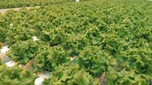 sector : Top view of lettuce tufts growing in a spacious greenery. Eco food concept.