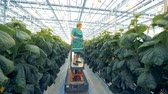 inventário : Moving platform is transporting a greenhouse employee during plants examination process
