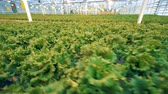 сектор : Steadicam dynamic shot of vast lettuce coppice in a glass-house Стоковые видеозаписи