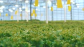brilho : Static transition of a front view into background view of green lettuce plants. Vídeos