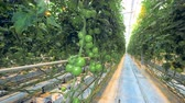 clorofila : Green tomatoes growing in a warmhouse. Steadicam shot.