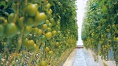 fotossíntese : Clusters of immature tomatoes are being bred in a greenery