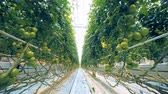 olgunlaşmamış : Fast footage of tomatoes brushwood rows in a greenhouse with a passage between them
