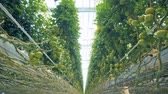 olgunlaşmamış : Dynamic bottom-up view of tomato coppice in a spacious greenhouse