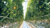 olgunlaşmamış : Greenhouse full of unripe growing tomatoes and daylight Stok Video