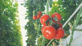 clorofila : Bottom view of a red-ripe tomatoes cluster hanging from the branch