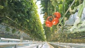 fixní : Video focus is moving backwards and remains fixed on a cluster of mature tomatoes