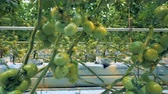 desenvolver : Close up of multiple green tomatoes clusters alongside with greenhouse equipment