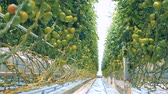 массивный : Moving along the passway of a massive glass-house with a focus on green tomatoes from bottom view