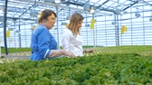 horticultura : Two women check pots with lettuce, close up. Stock Footage