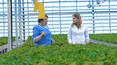 lopata : Female workers look through lettuce plants.