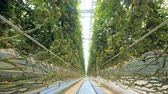 imaturo : Passway through a greenhouse full of growing tomatoes