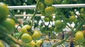 estufa : Close up of green tomato clusters hanging from branches Vídeos