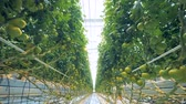 alimentação : Moving through the greenhouse with tomatoes along the passway Stock Footage