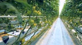 tied up : Tied up hanging branches of tomato seedlings in a glasshouse Stock Footage