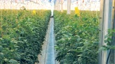 массивный : Bushes of tomatoes tied up vertically in a massive hothouse Стоковые видеозаписи