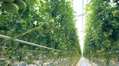 olgunlaşmamış : Plantation of green tomatoes in a lightened greenhouse