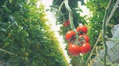 bottom view : Close up of several mature tomatoes hanging from a branch Stock Footage