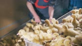 madár : Henhouse workers are putting down one of the boxes with ducklings Stock mozgókép