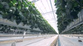 nourishment : Slow motion footage of green leaves of cucumber hothouse seedlings Stock Footage