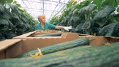 brushwood : Female greenery worker is checking seedlings for mature cucumbers
