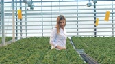 фотосинтез : Potted seedlings of lettuce are being inspected by a female hothouse worker