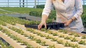 фотосинтез : Greenhouse worker is displacing lettuce pots from a tray Стоковые видеозаписи