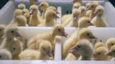 kachňátko : Yellow ducklings sit together, close up. Little ducks sit in a white box. Dostupné videozáznamy