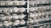 casca de ovo : Many hatched eggs laid on metal shelves in incubator.