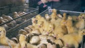 kaczka : Farm workers pick little ducks. Wideo