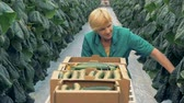 zvednout : Woman collects cucumbers, close up. A farm worker picks cucumbers in a big greenhouse. Dostupné videozáznamy