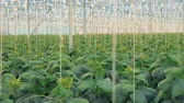 разбрызгиватель : Lots of cucumber plants. Large greenhouse with many cucumbers plants for growing.