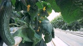 ozub : Cucumbers grow in rows in a greenhouse, close up. Ripe cucumbers are in metal beds at a farm. Dostupné videozáznamy