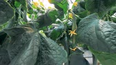 estufa : Ripe cucumbers on plants, close up. Cucumber plants grow at a vegetable farm.