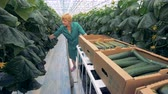 go cart : Female gardener picks cucumbers in a greenhouse, close up. Stock Footage