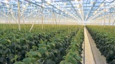 horticultura : Big greenhouse with lots of plants. Many rows of cucumber plants in one greenhouse. Stock Footage