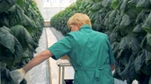 brushwood : Rows of cucumbers are getting checked by a greenhouse worker. Modern agriculture concept.