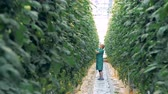 brushwood : Glasshouse worker is standing in a passage and tearing off tomato seedlings Stock Footage