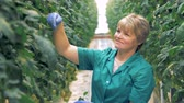 growing : Inspecting process of tomato plants held by a smiling lady. Modern agriculture concept.