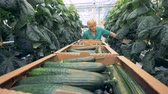 agronomist : Female hothouse worker is harvesting mature cucumbers. Healthy products production concept.